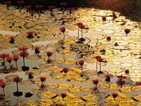 PGM Bruno Baumann - Lotus Pond Kunstdruk 80x60cm