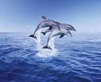 Pyramid Dolphin Trio Poster 50x40cm
