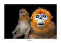 Komar Golden Snub-nosed Monkey Kunstdruk