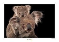 Komar Koala Bear Kunstdruk