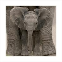 Pyramid Big Ears Baby Elephant Kunstdruk 40x40cm