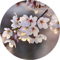 Cherry Blossoms Vlies Fotobehang 140x140cm rond
