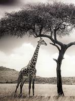 Wizard+Genius Giraffe Safari Vlies Fotobehang 192x260cm 4-banen