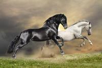 Papermoon Black and White Horses Vlies Fotobehang 300x223cm 6-banen