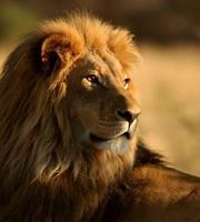 Dimex Lion Vlies Fotobehang 225x250cm 3-banen
